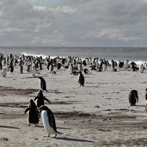 A beachful of penguins