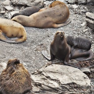 A bull Southern Sea Lion with females and pups