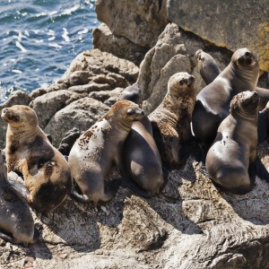 A group of female Southern Sea Lions