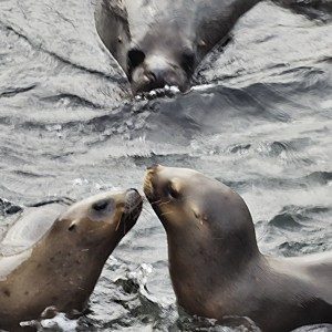 Bull Southern Sea Lion approaching two females