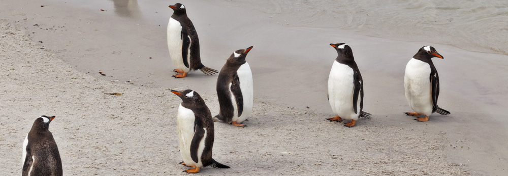 Gentoo Penguins at Leopard Beach