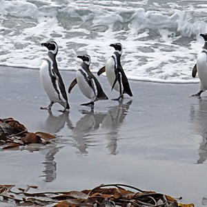 Magellanic penguins on the north beach