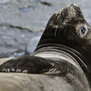 Southern Elephant seal 120