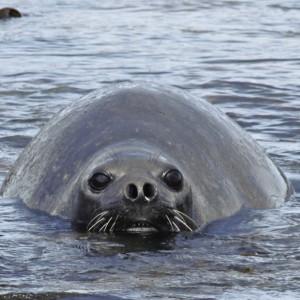 Southern Elephant seal 27