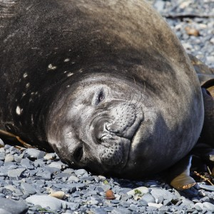 Southern Elephant seal basking