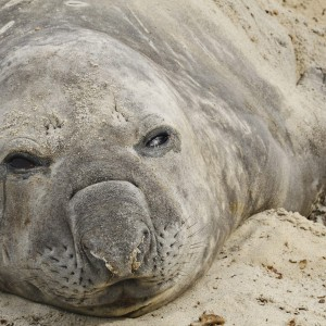 Moulting bull Southern Elephant seal sand bathing