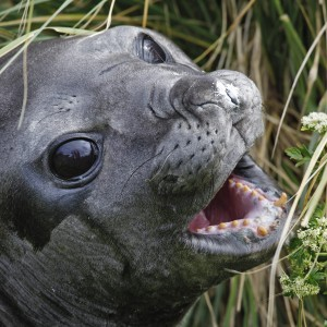 Southern Elephant seal in tussac grass