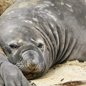 Moulting bull Southern Elephant seals