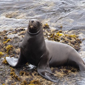 Female Southern Sea Lion