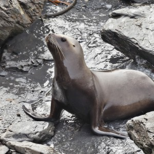 Female Southern Sea Lion coming ashore