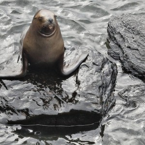 Female Southern Sea Lion in classic pose