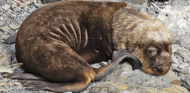 Young bull Southern Sea Lion at rest