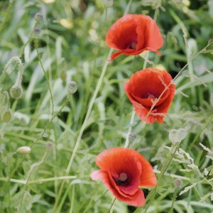 Poppies of Flanders