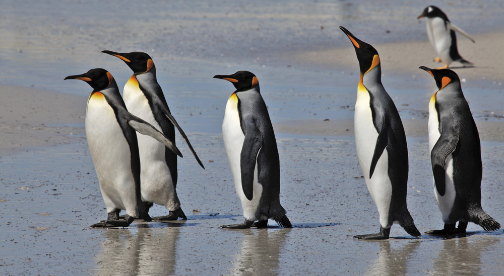 Five Kings and a Gentoo