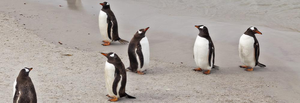 Gentoo Penguins at Leopard Beach