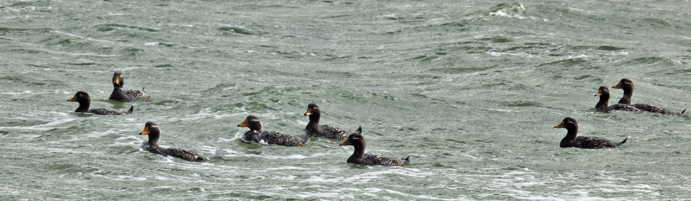 Steamer Ducks at Elephant Beach